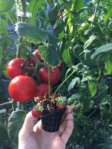 Jagode i paradajz iz akvaponik farme