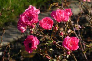 Patuljaste ruže © Pixabay
