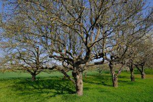 Stabla jabuke