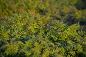 Polje šargarepe © Pixabay