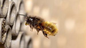 Solitarna pčela