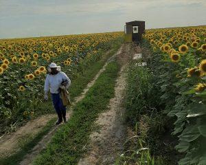 Pčelarka u polju suncokreta