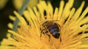 Pčela na maslačku