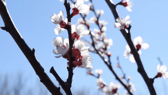 Red-leaved plum in bloom