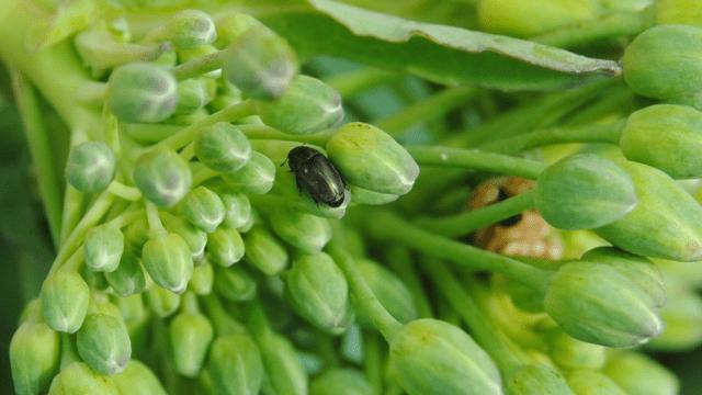 Odrasla jedinka repičinog sjajnika na cvasti uljane repice