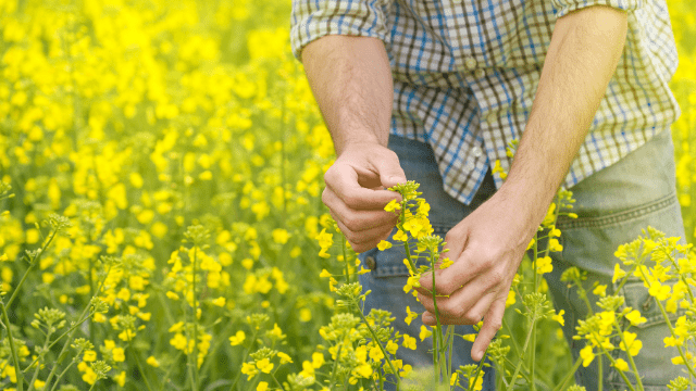 Poljoprivrednik u polju uljane repice