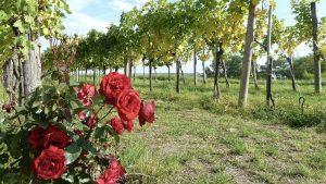 Ruža u vinogradu