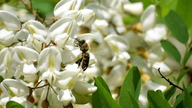 Una abeja en una acacia