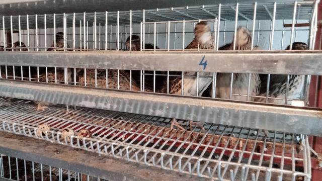 Uzgoj japanskih prepelica