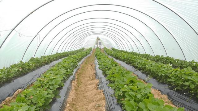 Plastenička proizvodnja jagoda