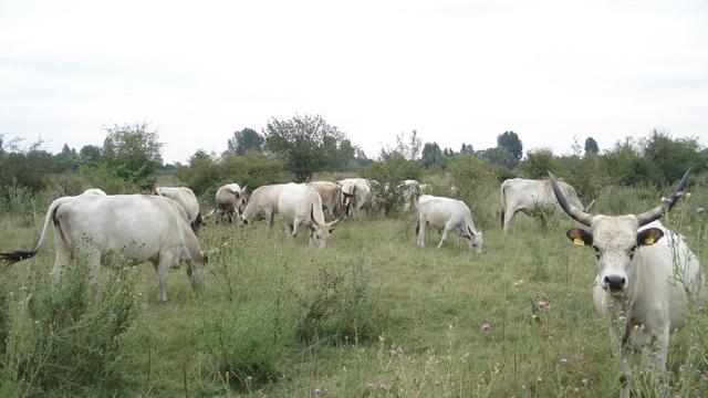 Podolsko goveče