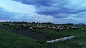 Ovce Cigaje