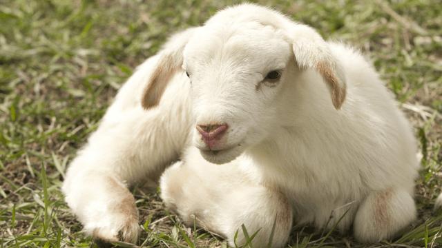 Jagnje