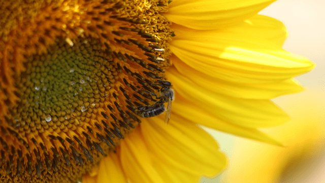 Pčela na suncokretu
