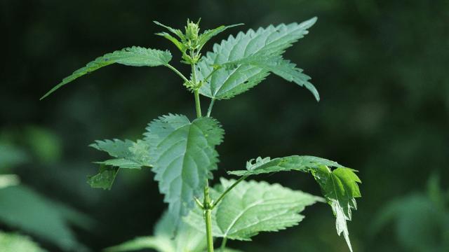 Kopriva