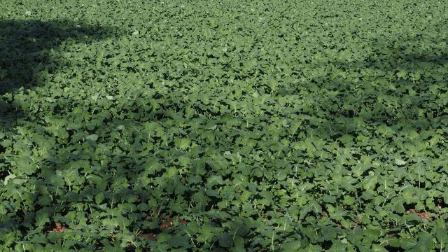 Zelenišno đubrenje