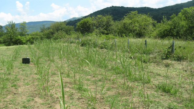 The first year of miscanthus crops