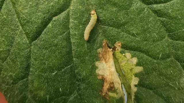 Aktuelna primena larva paradajzovog moljca