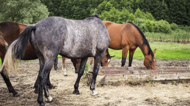 Horse nutrition oats