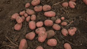 Krompiri