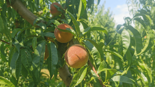 Current application of peach and nectarine