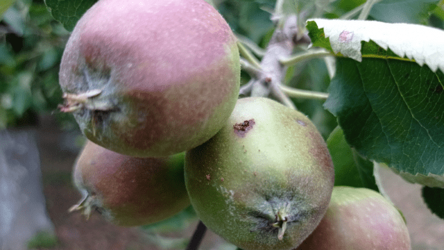 Current application of apples