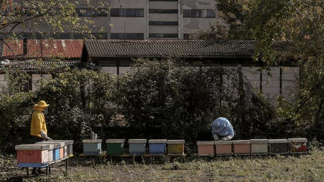 Urbano pčelarstvo