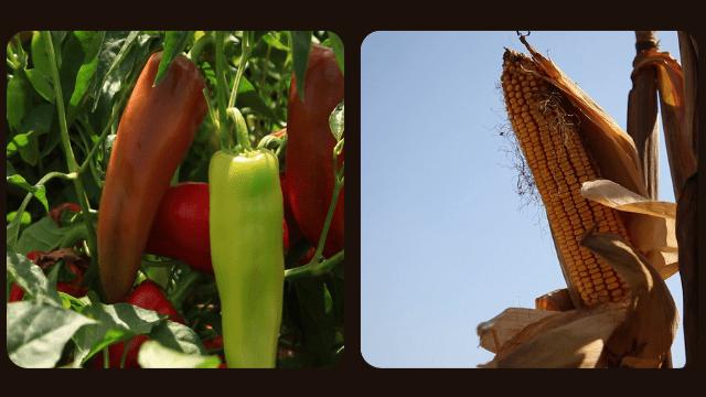 Paprika i kukuruz