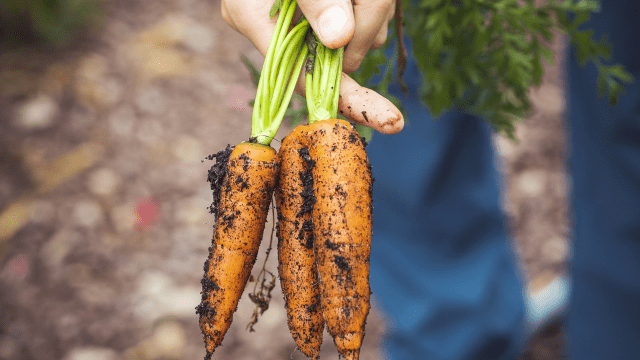 Vađenje šargarepe