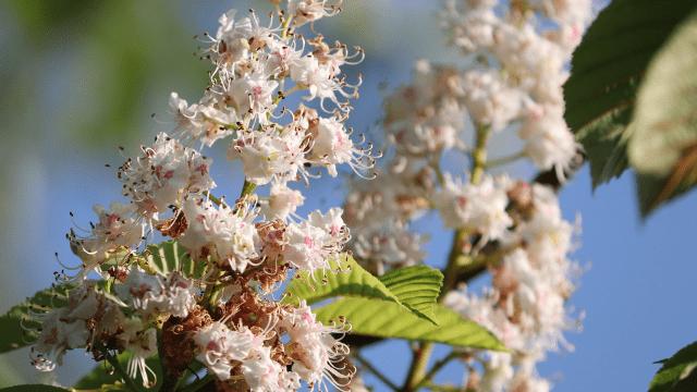 Cvetanje pitomog kestena