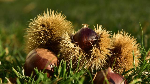 Tame chestnut