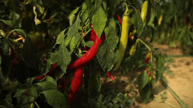 Ljute paprike